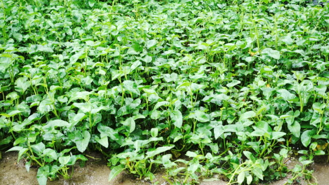 4K Morning glory vegetable in raining season