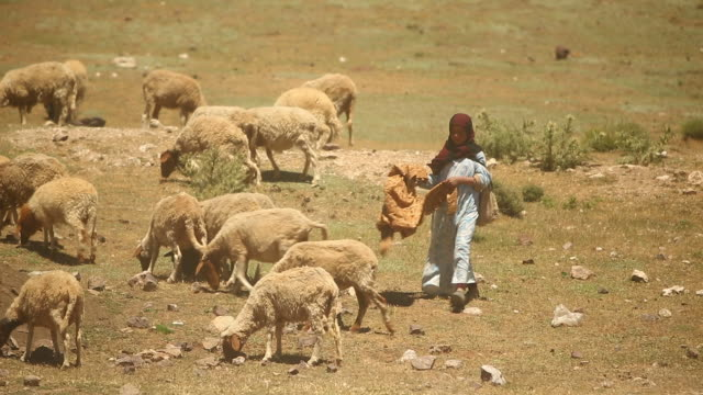 Moroccan woman driving sheep