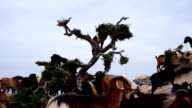 Morocco goats in an argan tree eating the argan nuts