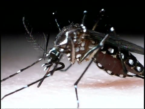 Mosquito (Aedes aegypti) - feeding on human blood, bloodsucker.  Aedes aegypti spreads yellow fever, dengue fever, Chikungunya and other diseases.