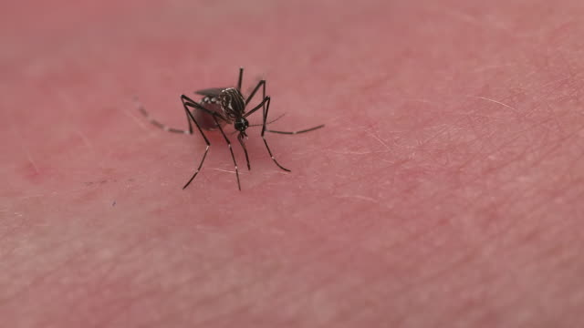 A mosquito on human skin withdraws its proboscis and flies away.