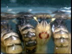 CU mosquito (Aedes aegypti) pupae at water surface.  Aedes aegypti spreads yellow fever, dengue fever, Chikungunya and other diseases.
