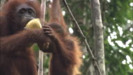 A mother and baby of orangutan in Borneo, Malaysia.