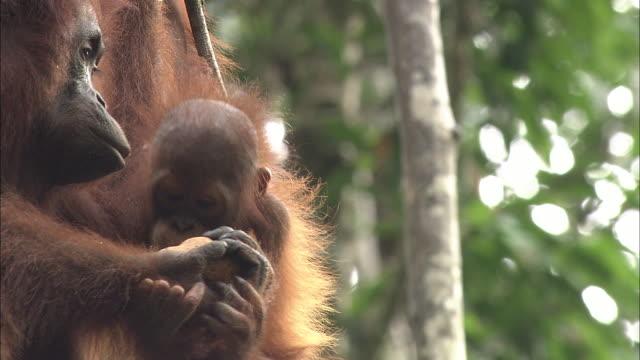 A mother and baby orangutan in Borneo, Malaysia.