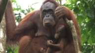 A mother and baby orangutan sit in a jungle tree in Borneo, Malaysia.