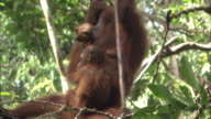A mother and infant orangutan play while hanging from the branches of a tree in Borneo, Malaysia.