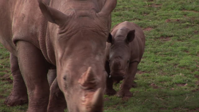 Mother & Baby Rhinos - HD & PAL