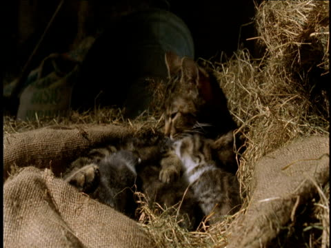 Mother cat licks three kittens next to her in straw nest.