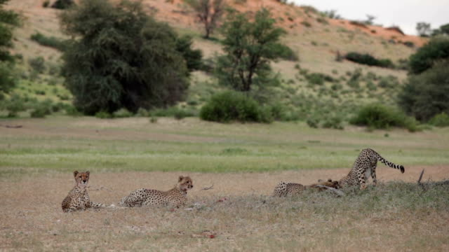 Mother cheetah and her juvenile cubs lying and playing in open grassland, Kgalagadi National Park, South Africa