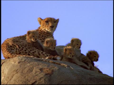 MS mother cheetah + cubs sitting on rock / Serengeti, Tanzania, Africa