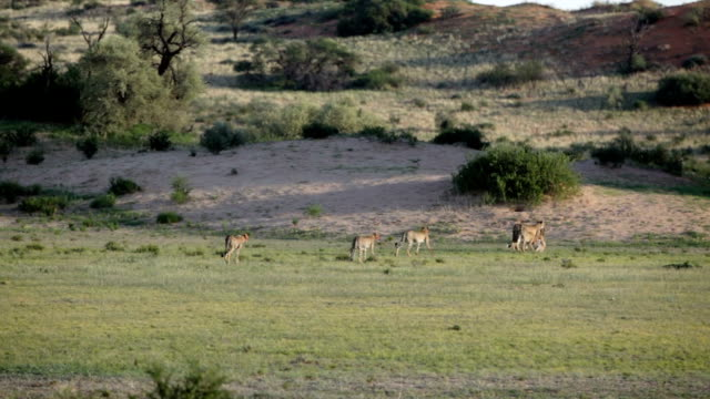 Mother cheetah dragging a kill with four cubs following her, Kgalagadi Transfrontier Park, South Africa