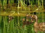 Mother duck and her ducklings swim in pond green reeds behind Cotswolds