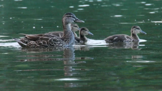 CU Mother duck & eleven ducklings swimming on Walden Pond, Concord, Massachusetts