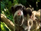 Mother emperor tamarin sticks out her tongue as two infants cling to her back, Manu, Peru