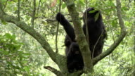 A mother mountain gorilla feeds in tree with infant clinging to her. Available in HD.