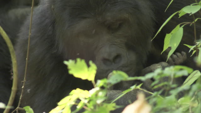 A mother mountain gorilla holds and kisses her baby. Available in HD.