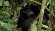 A mother mountain gorilla hugs its baby as the baby suckles. Available in HD.
