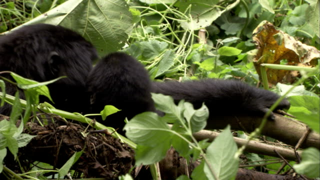 A mother mountain gorilla nuzzles her infant. Available in HD.