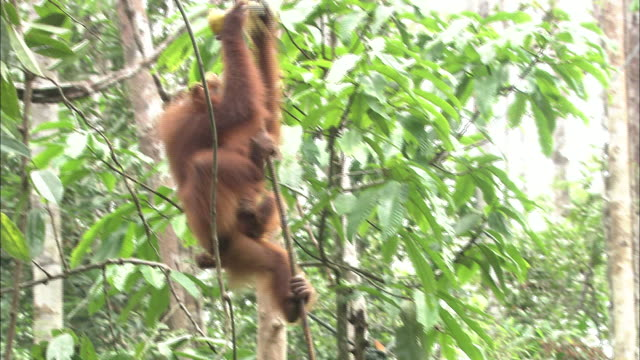 A mother orangutan carries a baby through the branches in Borneo, Malaysia.