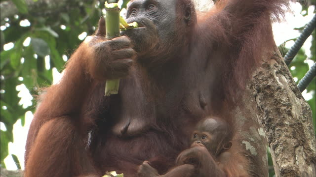 A mother orangutan eats sugarcane as her child sucks its finger in a tree in Borneo, Malaysia.