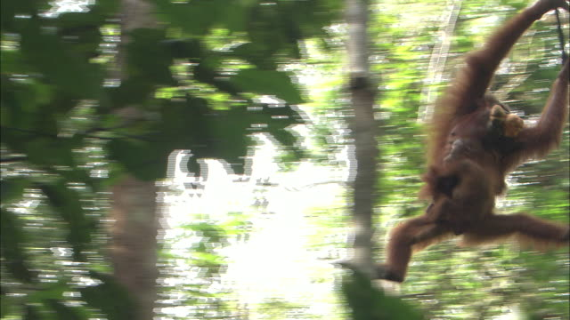 A mother orangutan embraces a baby and swings from ivy in the jungle tree in Borneo, Malaysia.