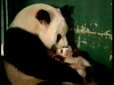 MCU Mother panda nurses baby