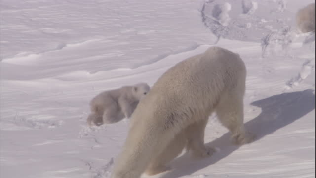 A mother polar bear leads her cubs to their den on Svalbard, Norway.