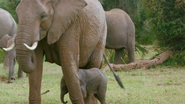 Mother Protects Baby Elephant Samburu  Kenya  Africa