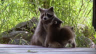 MS Mother raccoon with kits / Madoc, Ontario, Canada