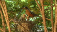 MS Mother robin feeding worms to hungry hatchling in nest and eating fecal sac/ Chelsea, Michigan