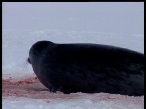 CU mother seal on blood stained snow, Arctic Circle