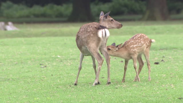 Mother Sika Deer And Baby Fawn