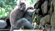 Mother Wild Macaque Monkey (Macaca fascicularis) teaching young to scavenge
