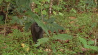 MS TS Mother with baby black macaque feeding on forest floor / Sulawesi, Indonesia