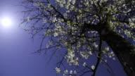 HD Motion: Fiore di ciliegio