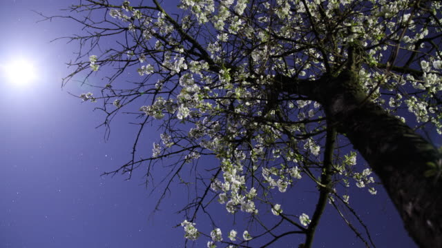 HD Motion Time-Lapse: Cherry Blossom