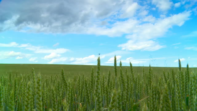 HD Motion Time-Lapse: Cloudscape Over Green Wheat Field