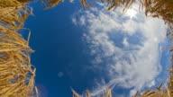 HD Motion Time-Lapse: Golden Wheat Stems Against Cloudscape