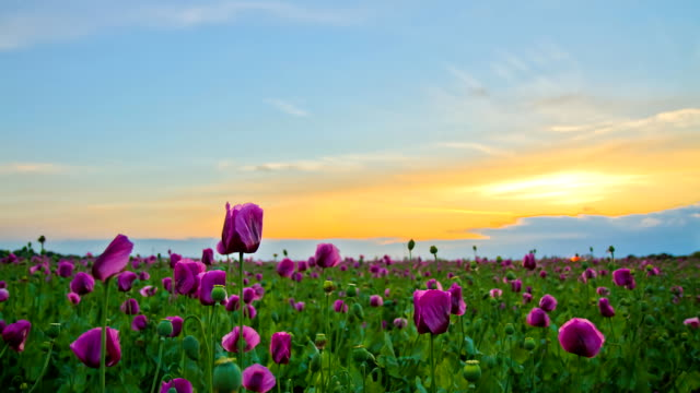 HD Motion Time-Lapse: Poppy Field From Sunset To Night