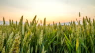 HD Motion Time-Lapse: Spring Wheat In The Sunset