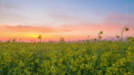 HD Motion Time-Lapse: Sun Rising Over The Canola Field