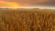HD Motion Time-Lapse: Sunrise Cloudscape Over Wheat Field
