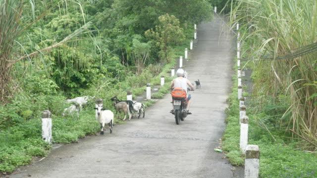 Motorradfahrer fahren vorbei an Ziegen auf einer einsamen Straße