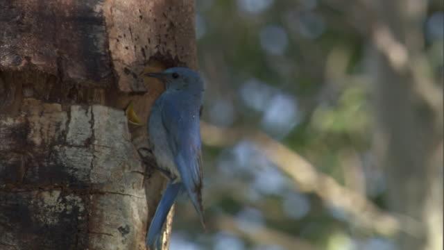 Mountain bluebird (Sialia currucoides) feeds chicks in nest, Yellowstone, USA