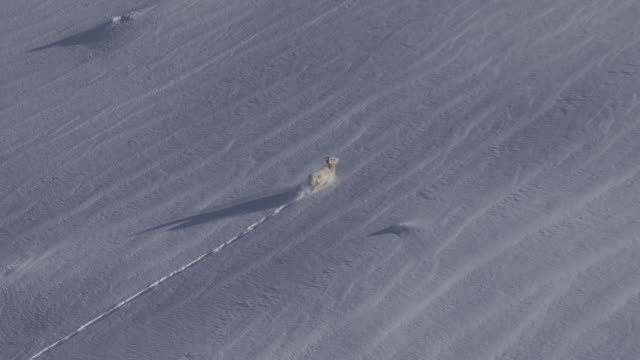 A mountain goat gallops through deep snow in the Wasatch Mountains, Utah.