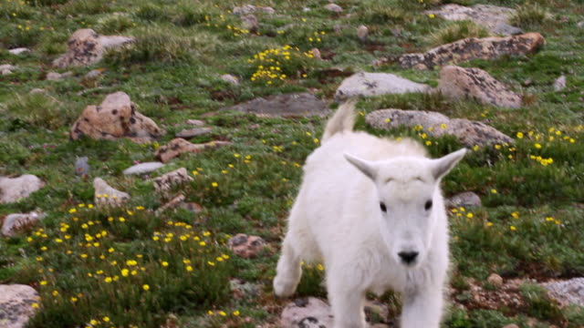 MS TS mountain goat kid walking amongst tundra wildflowers / Idaho Springs, Colorado, United States