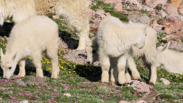 MS TS mountain goat kids grazing on tundra wildflowers at sunrise / Idaho Springs, Colorado, United States
