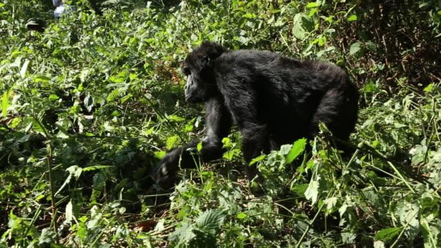 Mountain gorilla 1