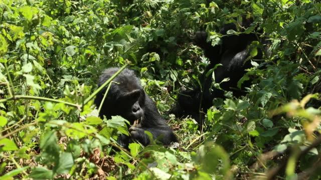 Mountain gorilla 2