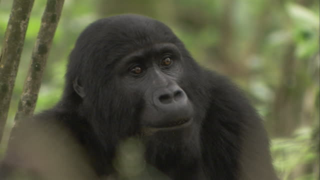A mountain gorilla blinks its eyes as it turns its head. Available in HD.